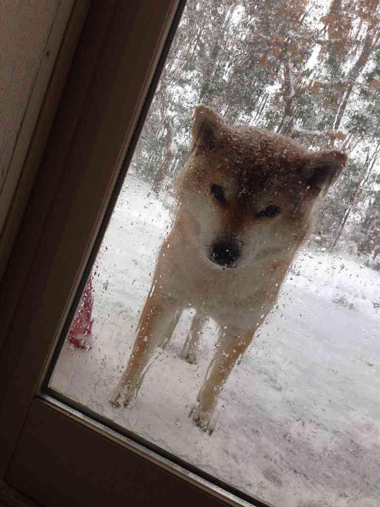 【犬と雪おもしろ画像】雪なのに庭駆け回らず家に入れてほしがる犬(笑)
