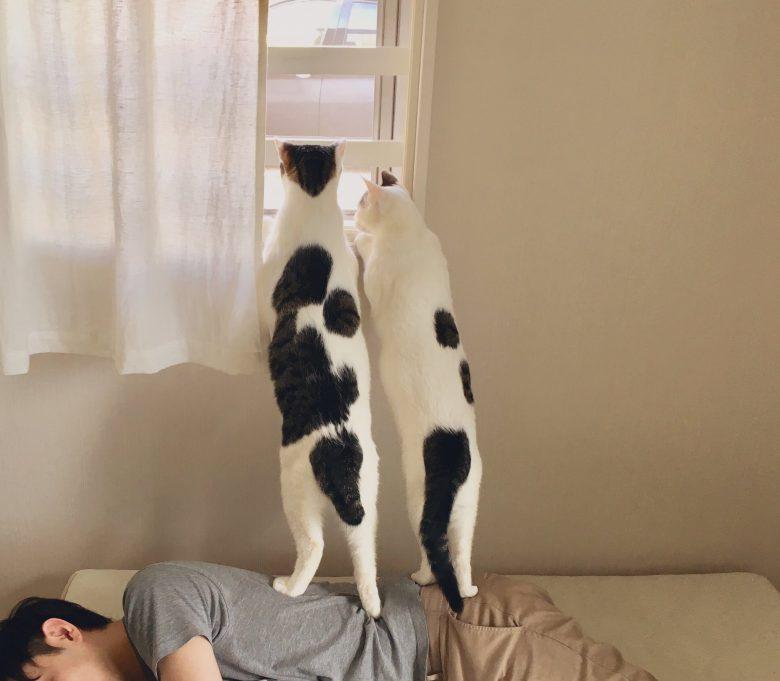 【猫おもしろ画像】飼い主を踏み台にして窓の外を眺める猫たち(笑)