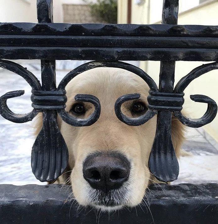 【犬おもしろ画像】フェンスから顔を出すメガネ犬(笑)