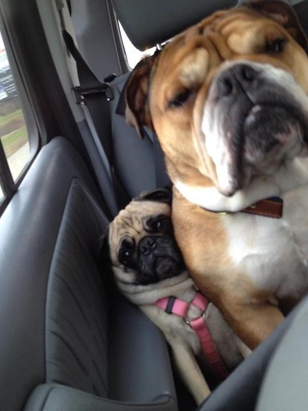 【犬おもしろ画像】車のシートで窮屈そうなパグ犬の表情(笑)