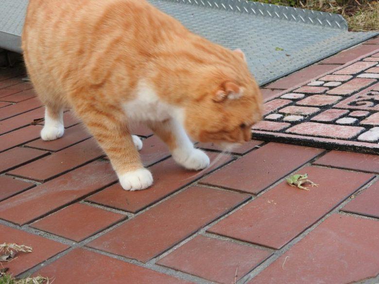 【猫おもしろ画像】消えたカエルを探す猫がかわいい(笑)
