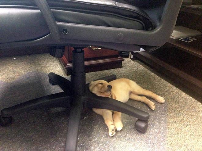 【犬おもしろ画像】椅子の足を枕代わりにして寝る子犬(笑)
