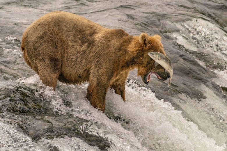 【熊おもしろ画像】サケを捕まえようとして失敗するクマ(笑)