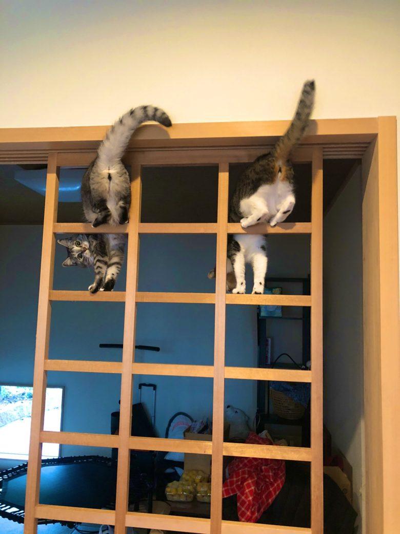 【猫おもしろ画像】張り替え中の障子で遊ぶ猫たち(笑)