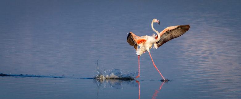 【フラミンゴおもしろ画像】湖の水面を滑るフラミンゴ(笑)