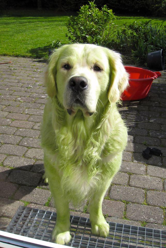 【犬おもしろ画像】刈ったばかりの芝生の上で遊んで緑色になった犬(笑)