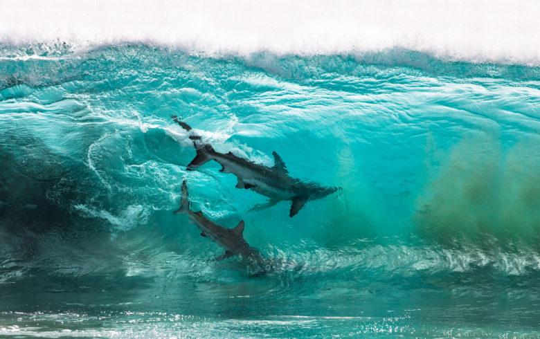 【海おもしろ画像】海岸線でサーフィンする2匹のサメ(笑)