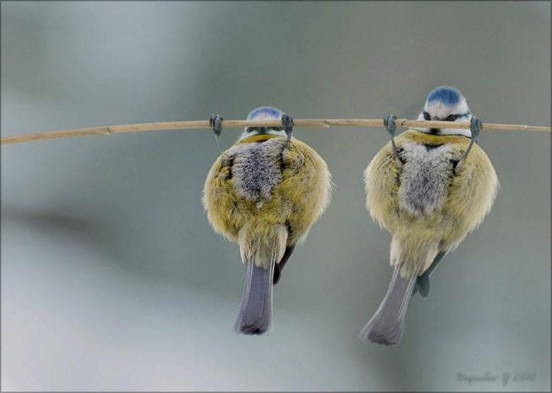 【鳥おもしろ画像】懸垂をしているように見える鳥たち(笑)