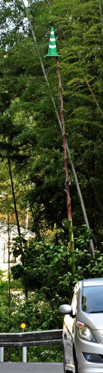 高知の雑木林で竹が成長して宙に浮いたカラーコーン(笑)