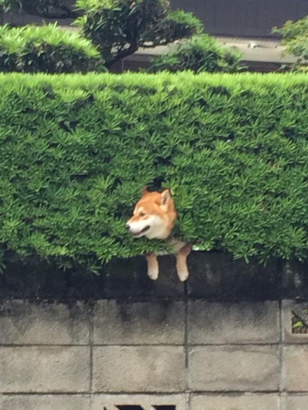 【犬おもしろ画像】生垣に挟まった柴犬がかわいい(笑)