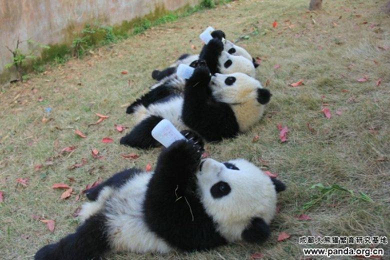 【パンダおもしろ画像】並んでミルクを飲むかわいい子パンダたち(笑)