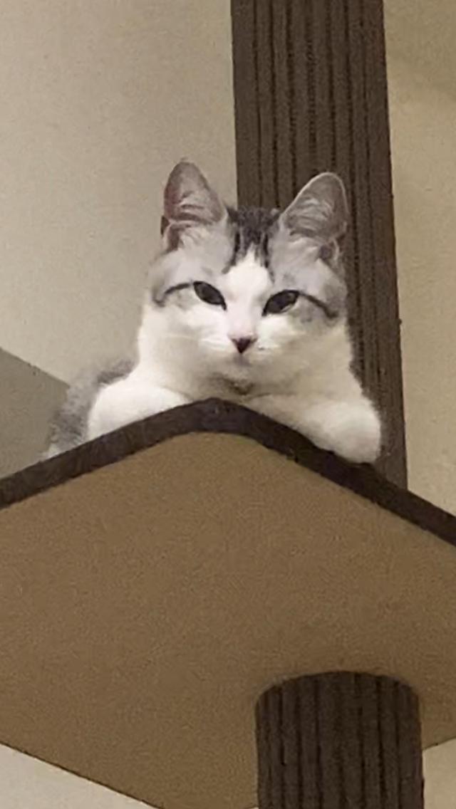 【地震と猫おもしろ画像】地震に驚いてキャットタワーにしがみつく猫(笑)