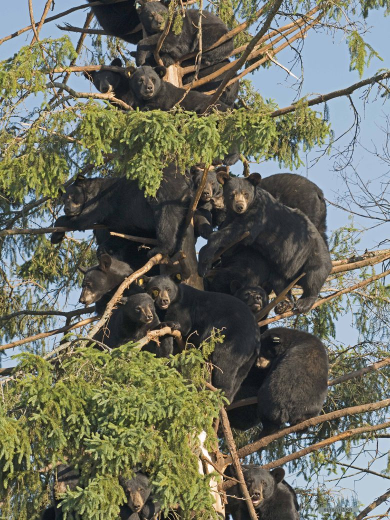 【クマおもしろ画像】一つの木に密集するクマたち(笑)