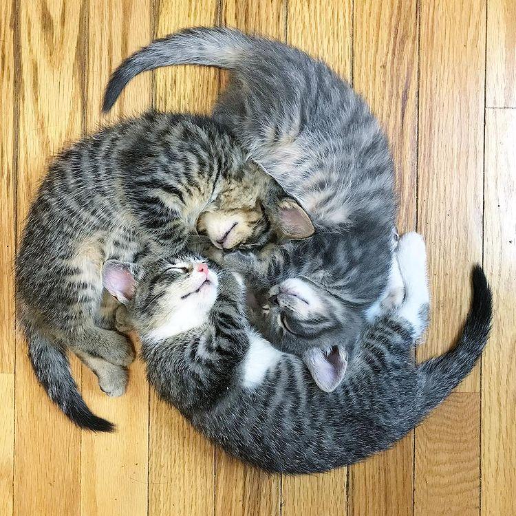 【猫おもしろ画像】家紋みたいな形に見える3匹の眠る猫(笑)