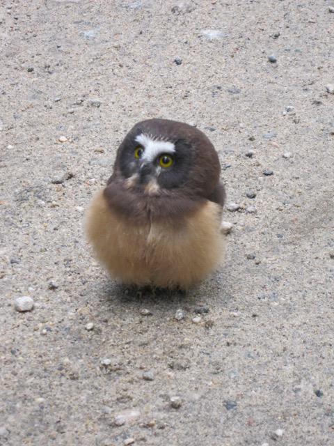 【フクロウおもしろ画像】アメリカで警察に事情聴取されるフクロウの赤ちゃん(笑)