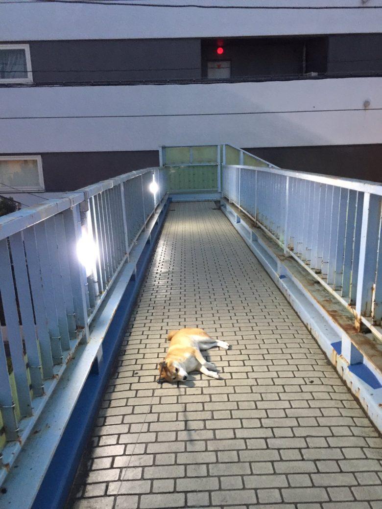 【柴犬おもしろ画像】あと少しで散歩が終わることに絶望している柴犬(笑)