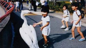 パクッ! 小学生の男の子がペリカンに触りたくて近寄っていったら(笑)
