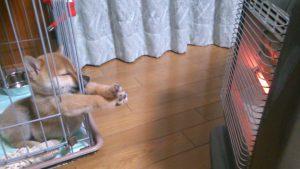 えい! 柴犬の子犬が暖まりたくて必死にストーブに手を伸ばす姿がかわいい(笑)
