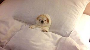 すやすや! 布団で気持ちよさそうに眠る子犬がかわいすぎ(笑)